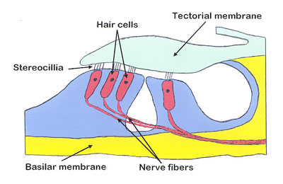 hair rig diagram cochlea hair cells diagram palestinian m.d.
